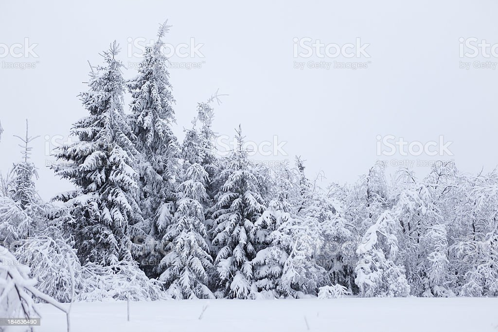 Fir trees cowered with snow royalty-free stock photo