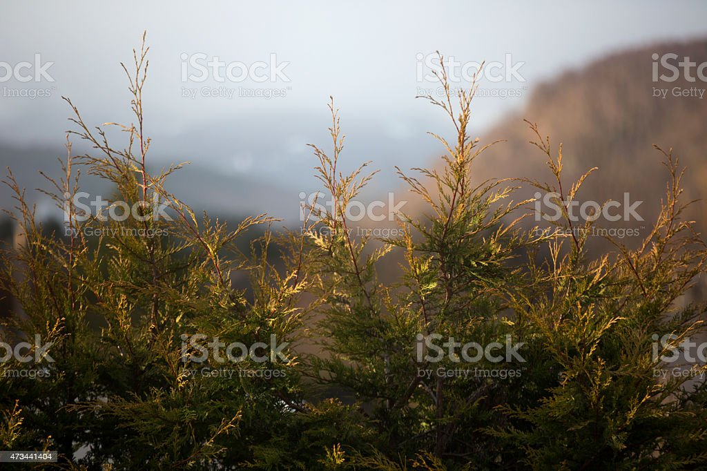 Fir trees in a Scottish Valley stock photo