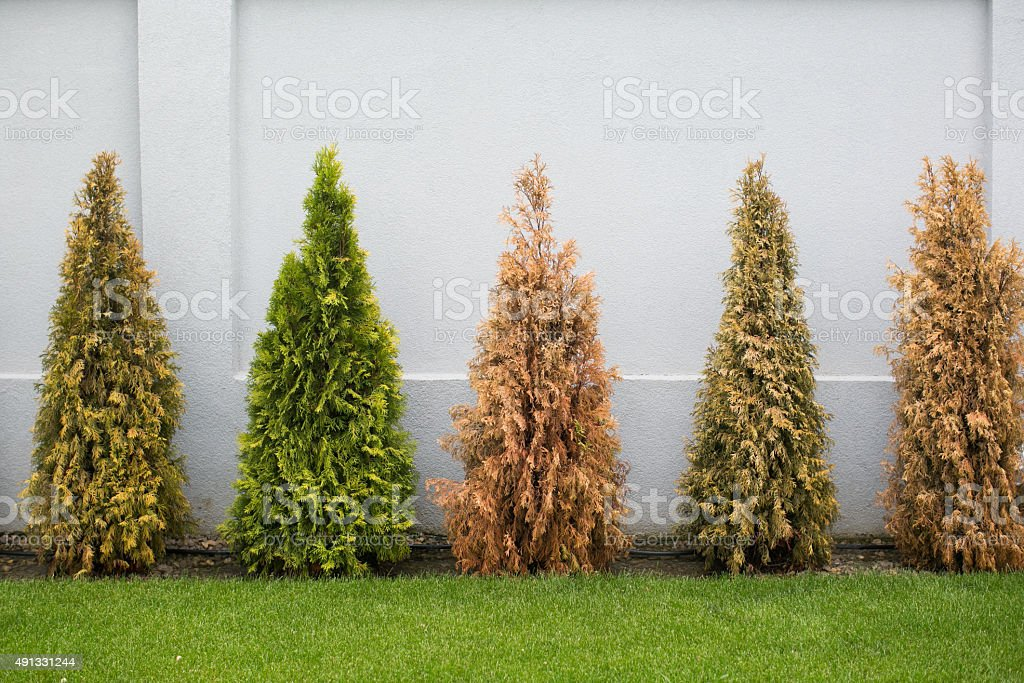 Fir trees in many colors stock photo