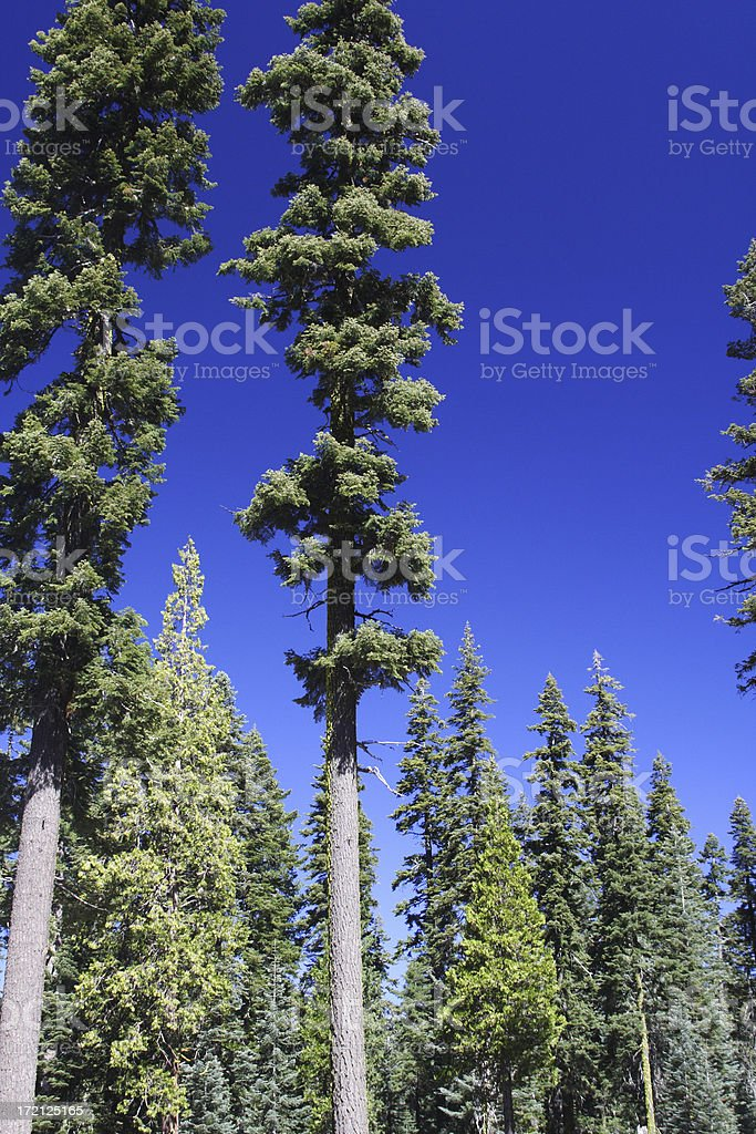 Fir trees royalty-free stock photo