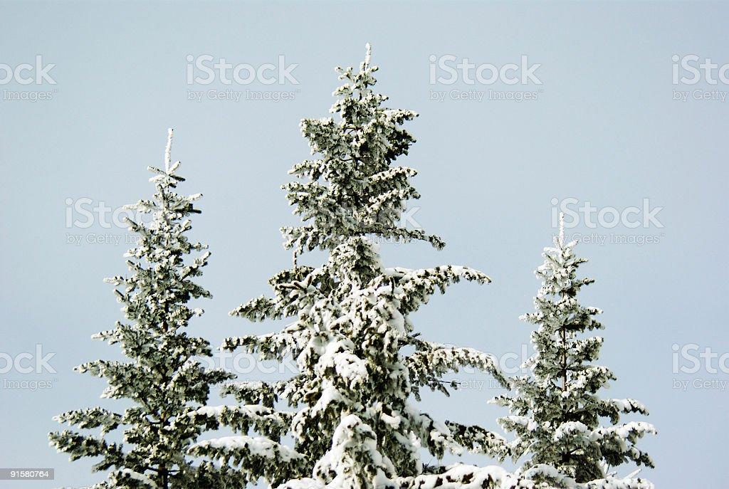 Fir trees royalty-free stock photo