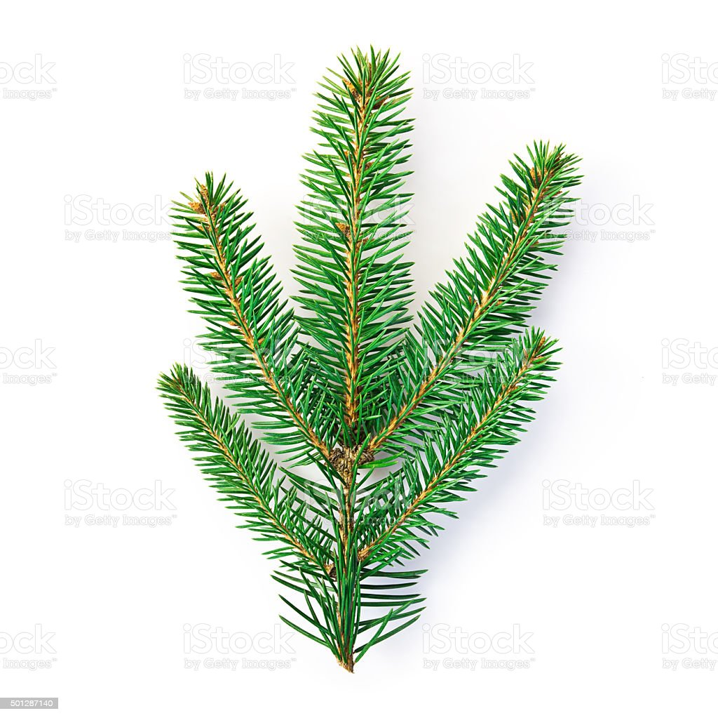 fir twig isolated with clipping path stock photo