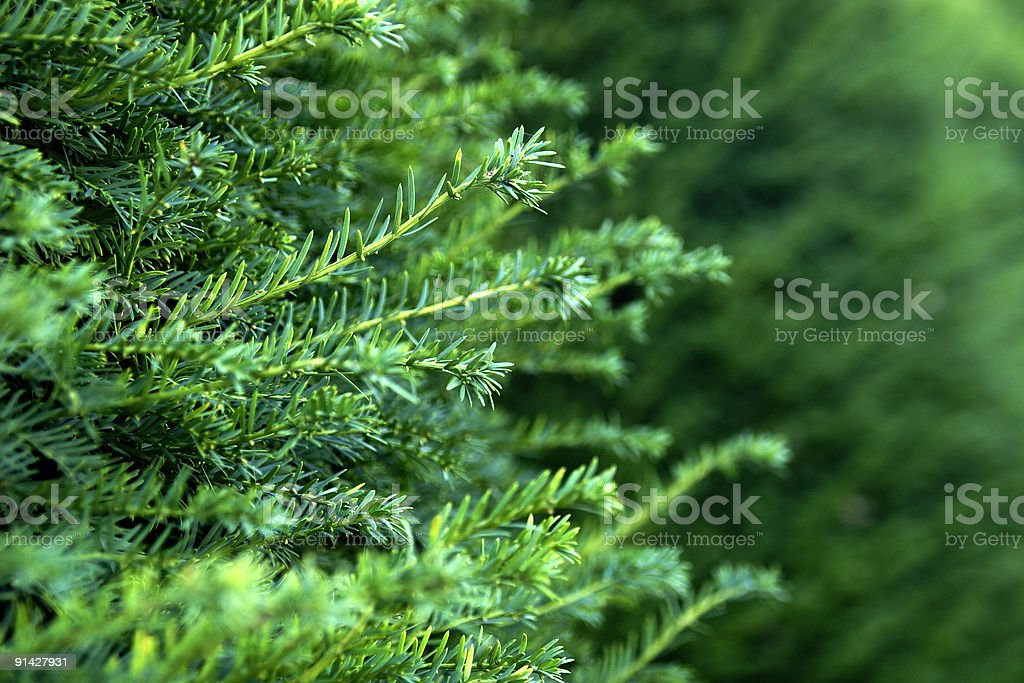 fir twigs royalty-free stock photo