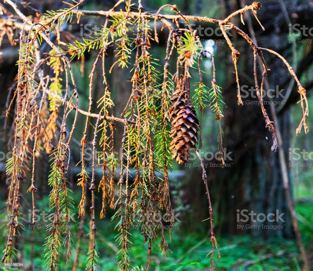 fir-cone in the light of the setting sun stock photo