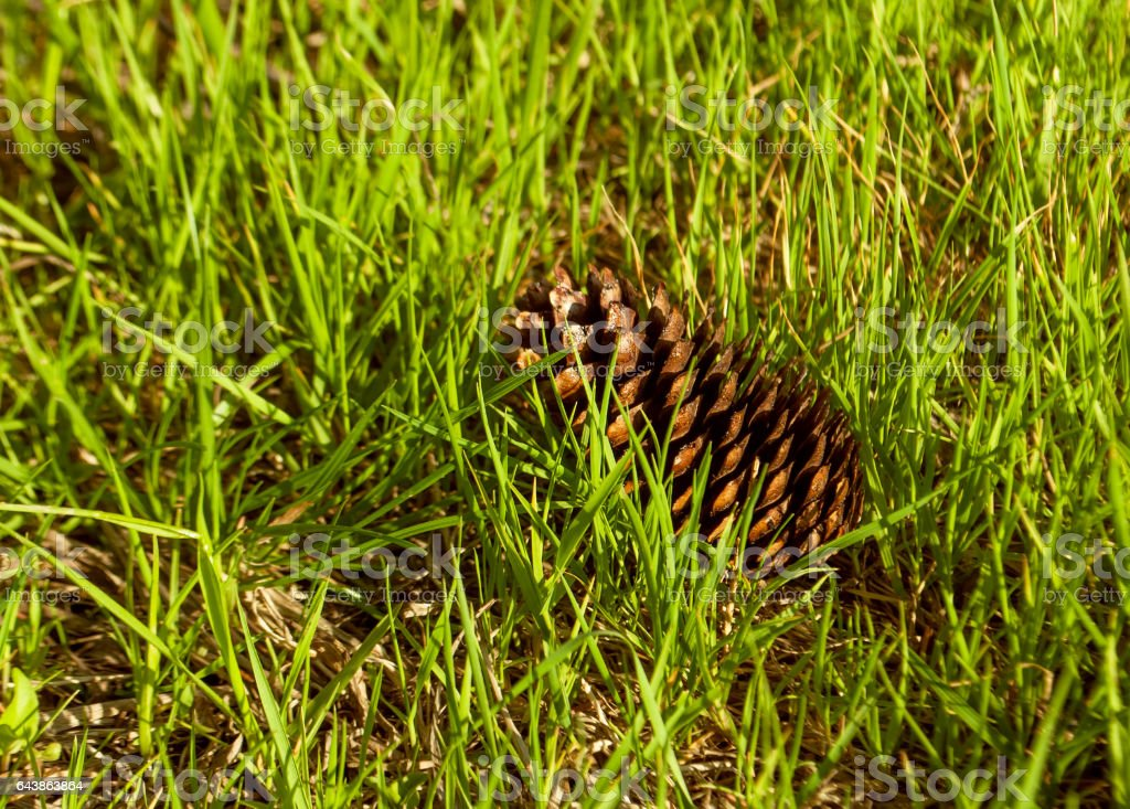 Fir-cone on the grass close up view stock photo