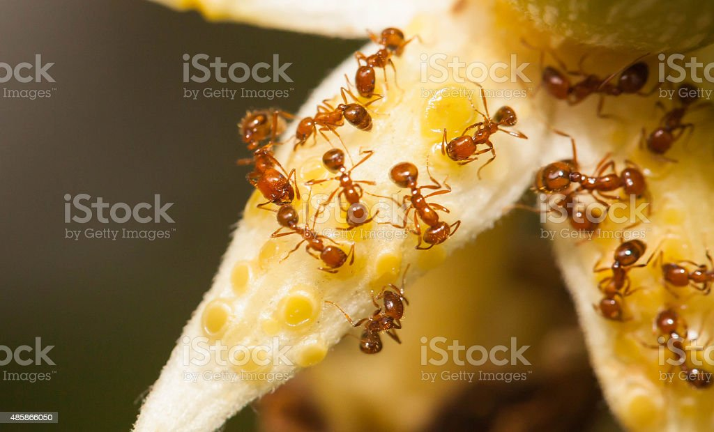 Fire ant eat nectar from angled gound flower stock photo