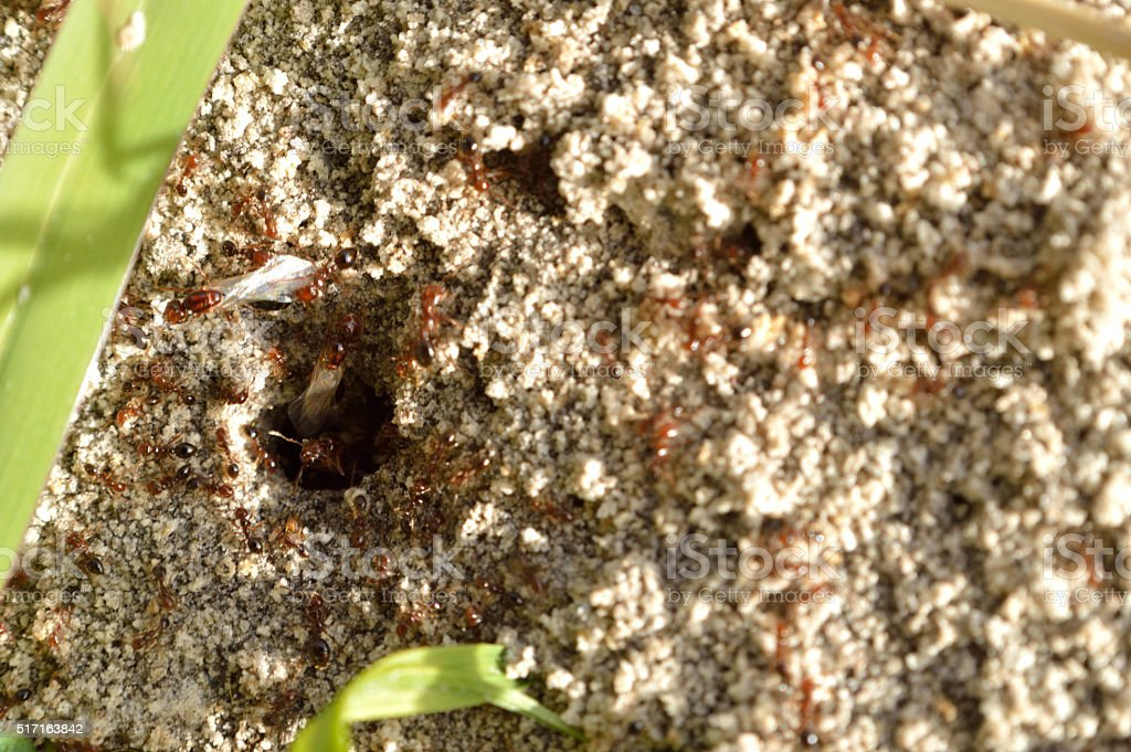 Fire ants on ant bed stock photo