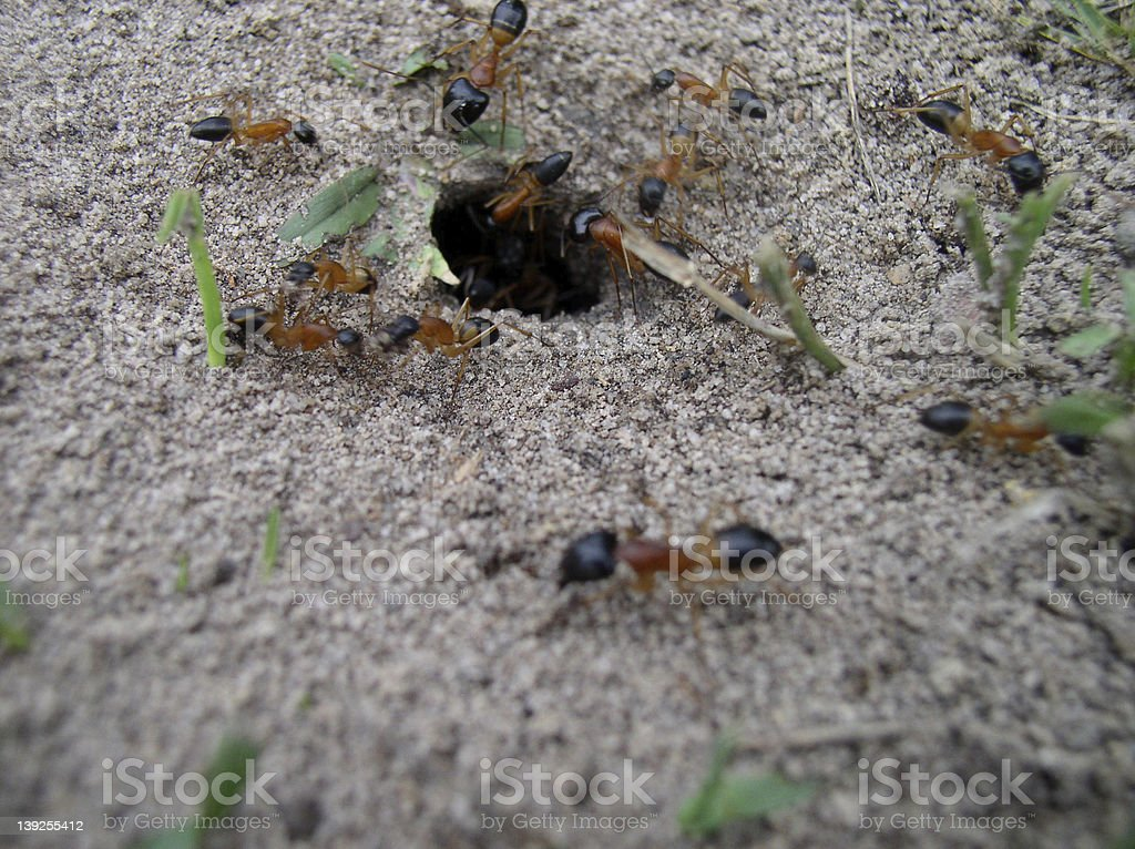 fire ants royalty-free stock photo