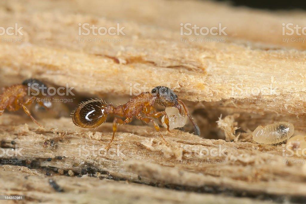 Fire ants (Myrmicinae) rescue of larva stock photo