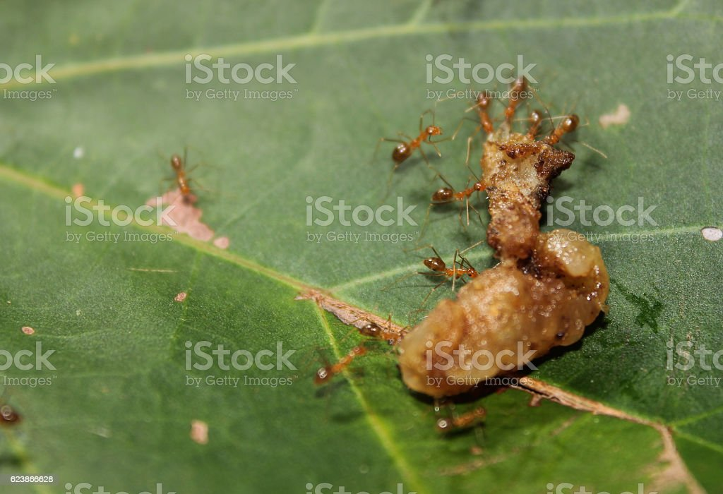 Fire ants worked together carrying food stock photo
