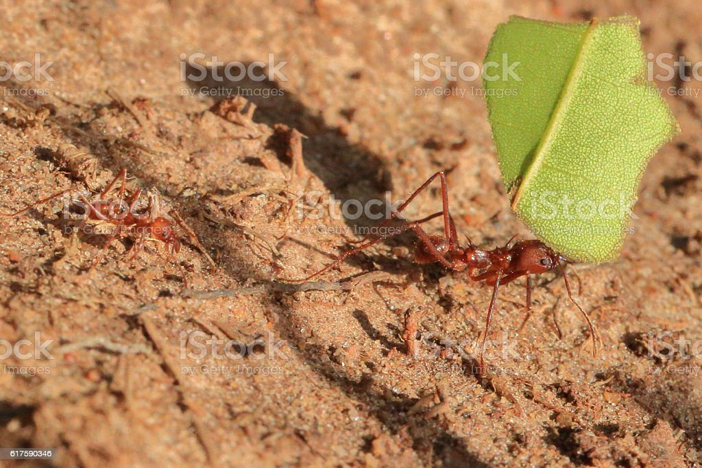 Fire Ants Working stock photo