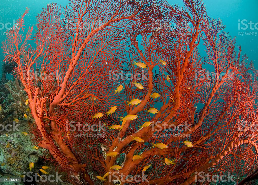 fire coral and sea goldies stock photo