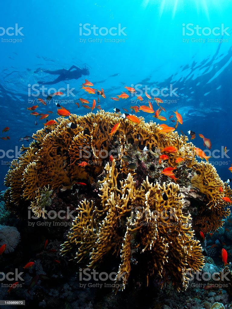 Fire Coral with Snorkler stock photo