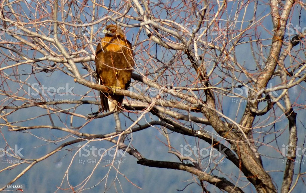 Fire Eagle Hawk Profile stock photo