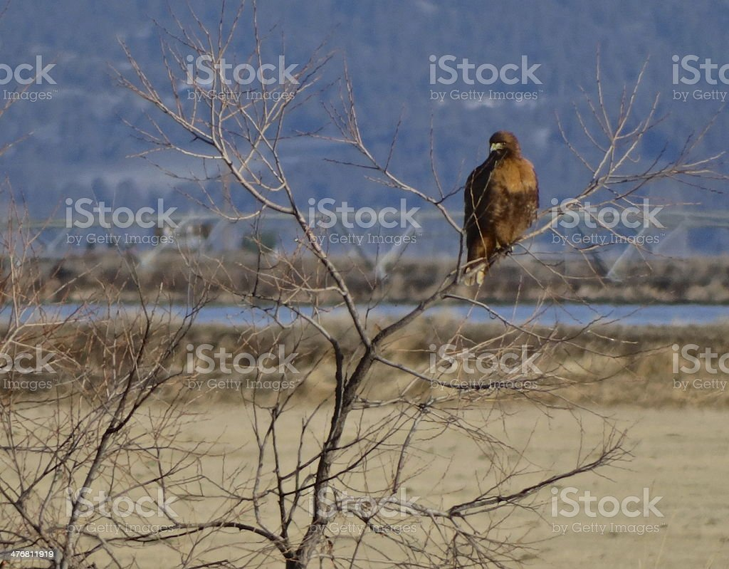 Fire Eagle Hawk Watch stock photo