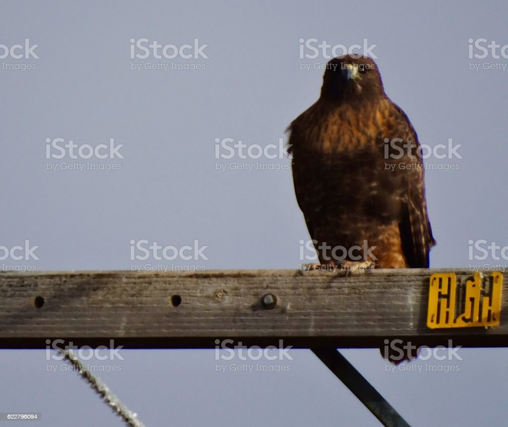 Fire Ferruginous Hawk stock photo