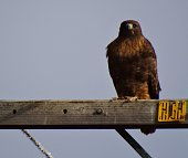 Fire Ferruginous Hawk