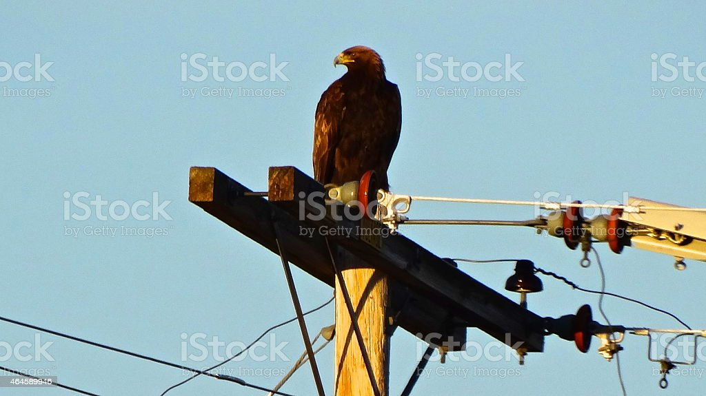 Fire Golden Eagle stock photo