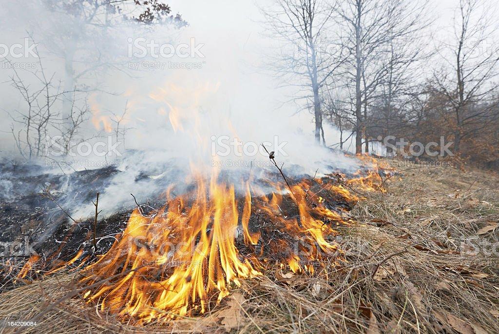 Fire in oak forest royalty-free stock photo