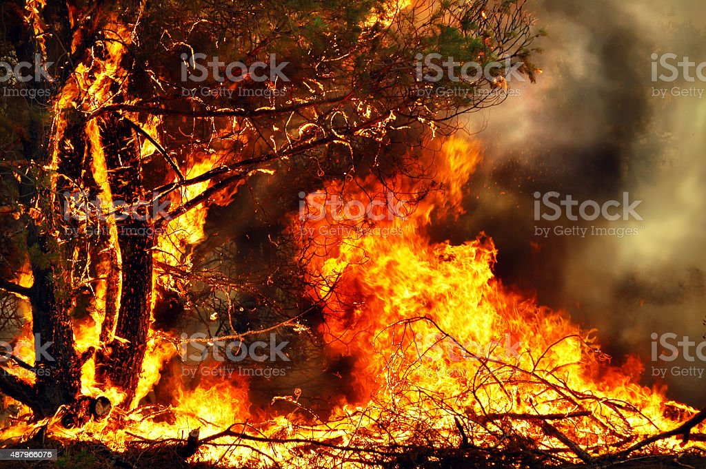 Fire in the coniferous forest. stock photo