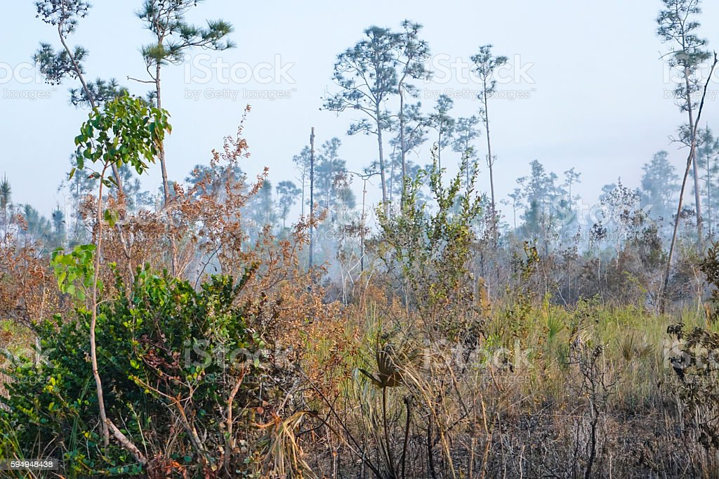 Fire in the Everglades National Park - burning trees Lizenzfreies stock-foto