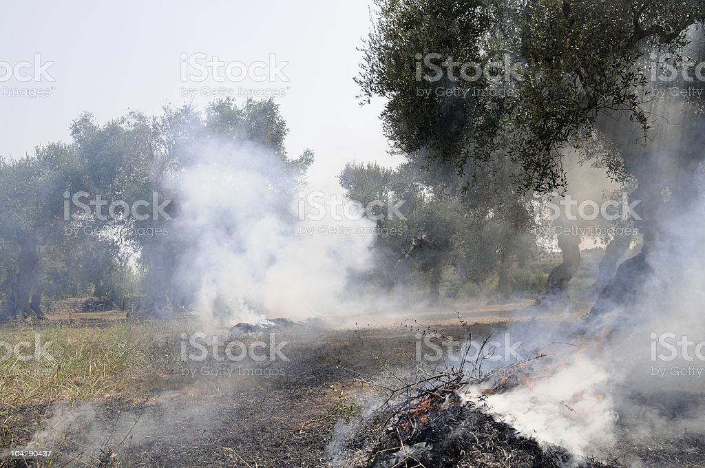 fire in the olive plantation stock photo