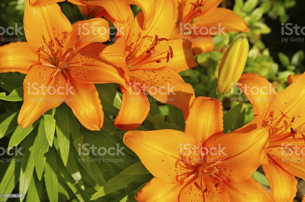 Fire lilies stock photo