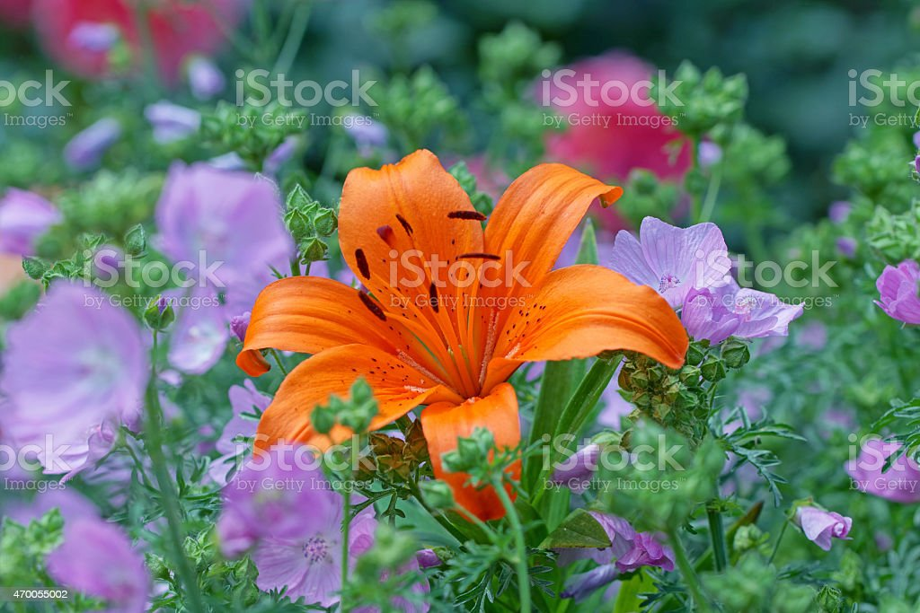 Fire lily and mallows stock photo