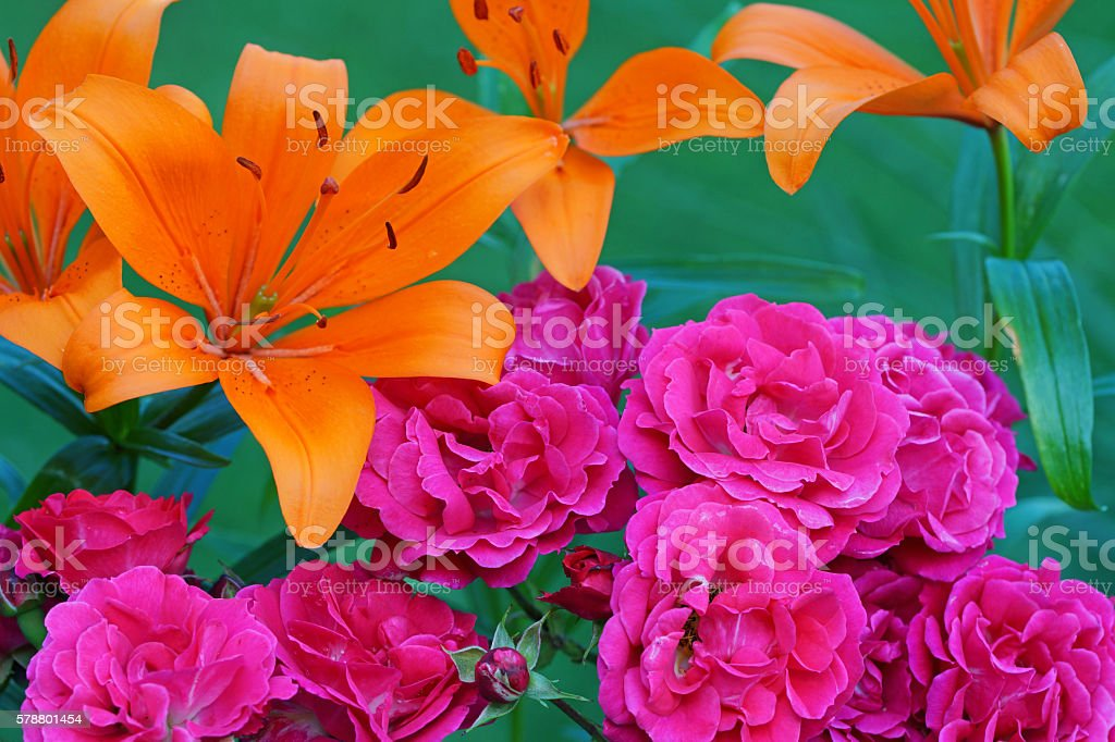 Fire lily and rose 'Heidefeuer' stock photo
