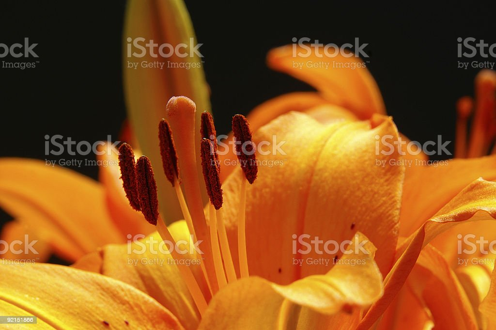 Fire lily in the counter-light stock photo