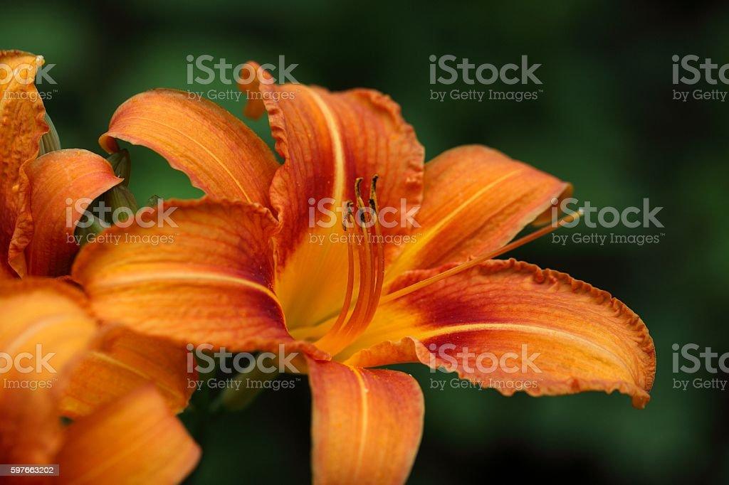 Fire Lily (Lilium bulbiferum) stock photo