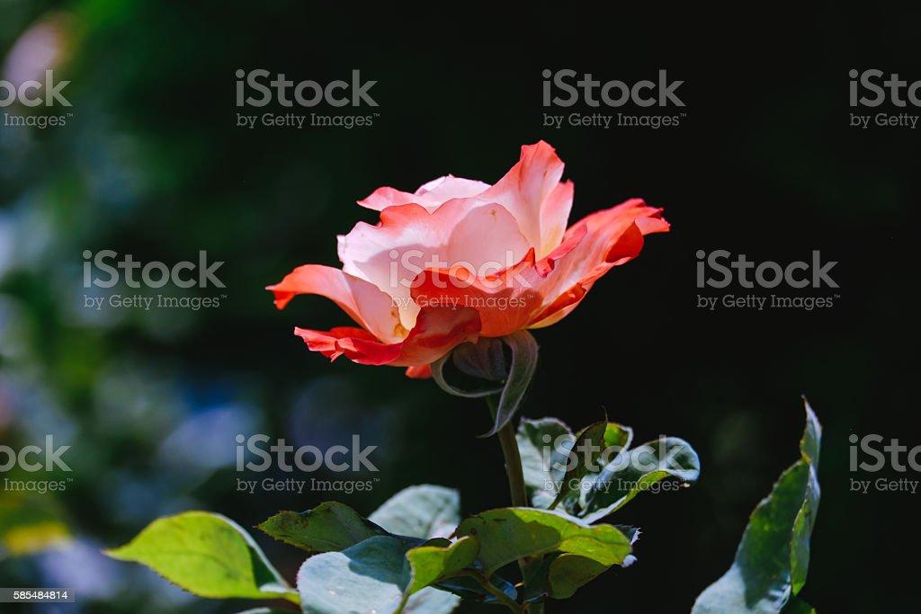 Fire on the Rose. Стоковые фото Стоковая фотография