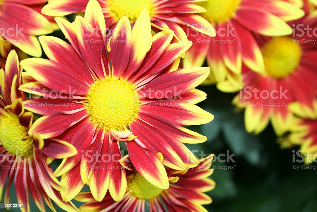 Feuer Rote Bl?ten stock photo