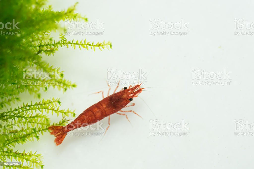 fire red shrimp (Neocaridina heteropoda) stock photo