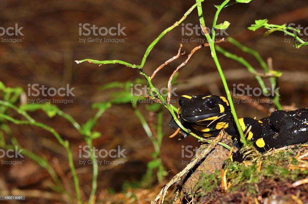 fire salamanda looks royalty-free stock photo