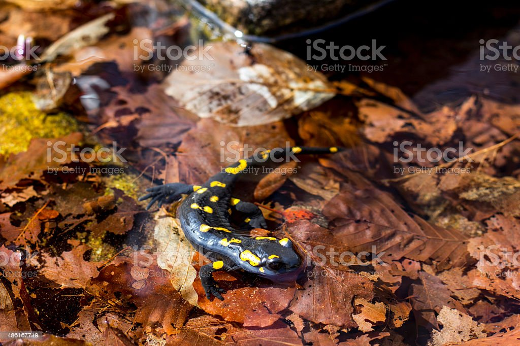 Fire Salamander in the water royalty-free stock photo