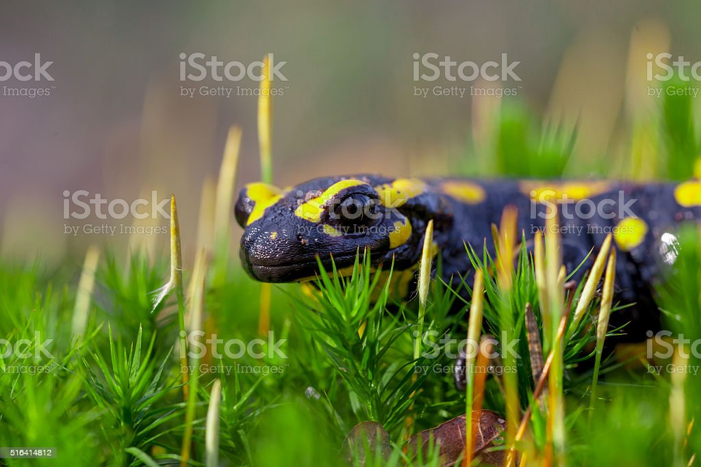 Fire salamander on moss looking in the camera stock photo