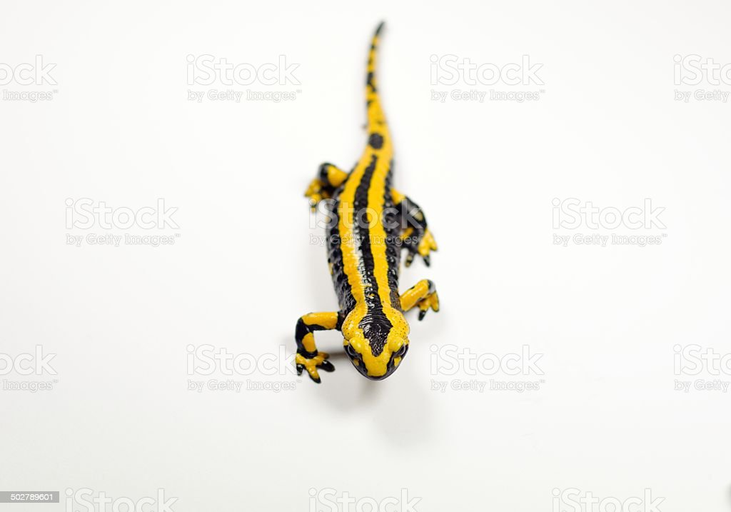 Fire salamander, Salamandra stock photo