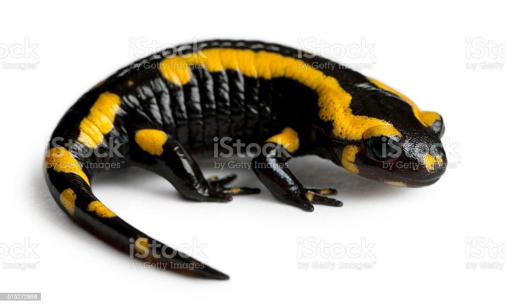 Fire salamander, Salamandra salamandra, in front of white background stock photo
