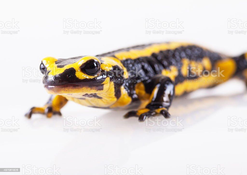 Fire salamander, salamandra salamandra stock photo