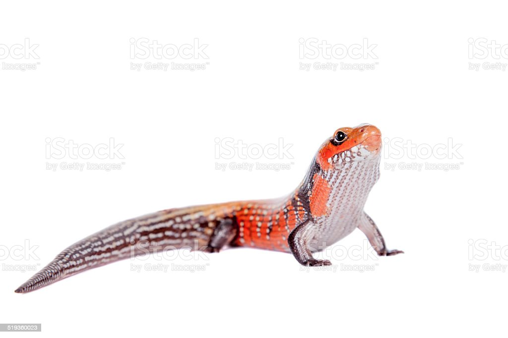 Fire Skink isolated on white stock photo