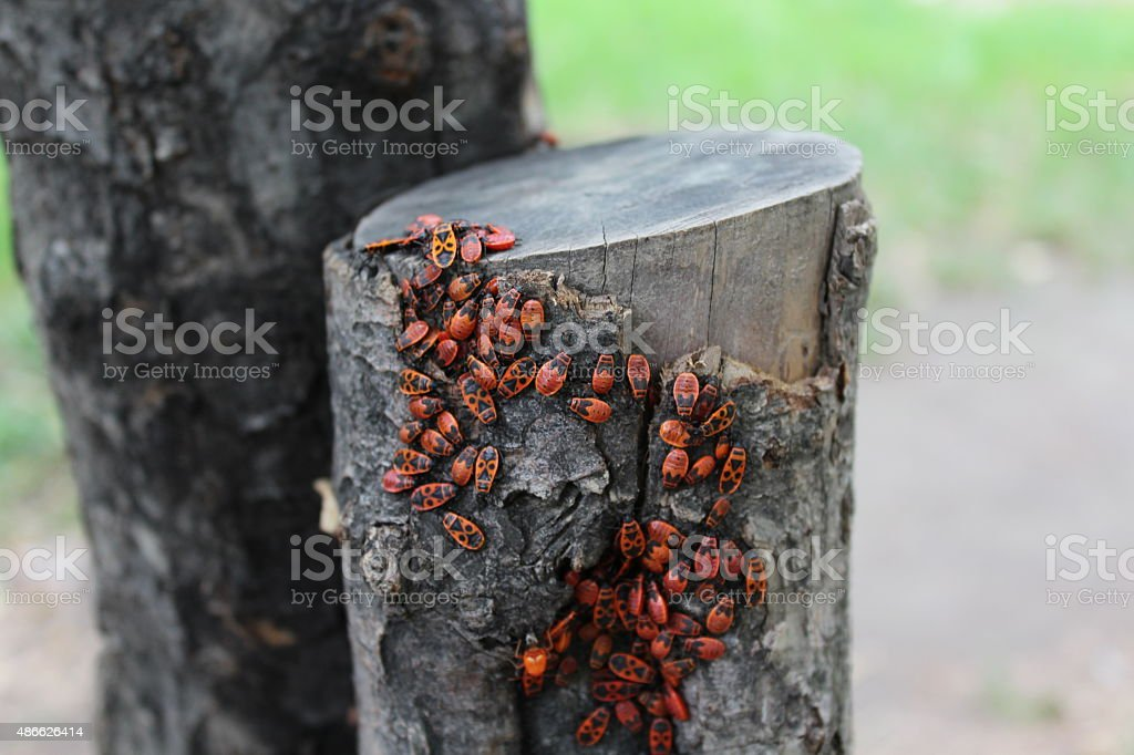 Firebug insects stock photo