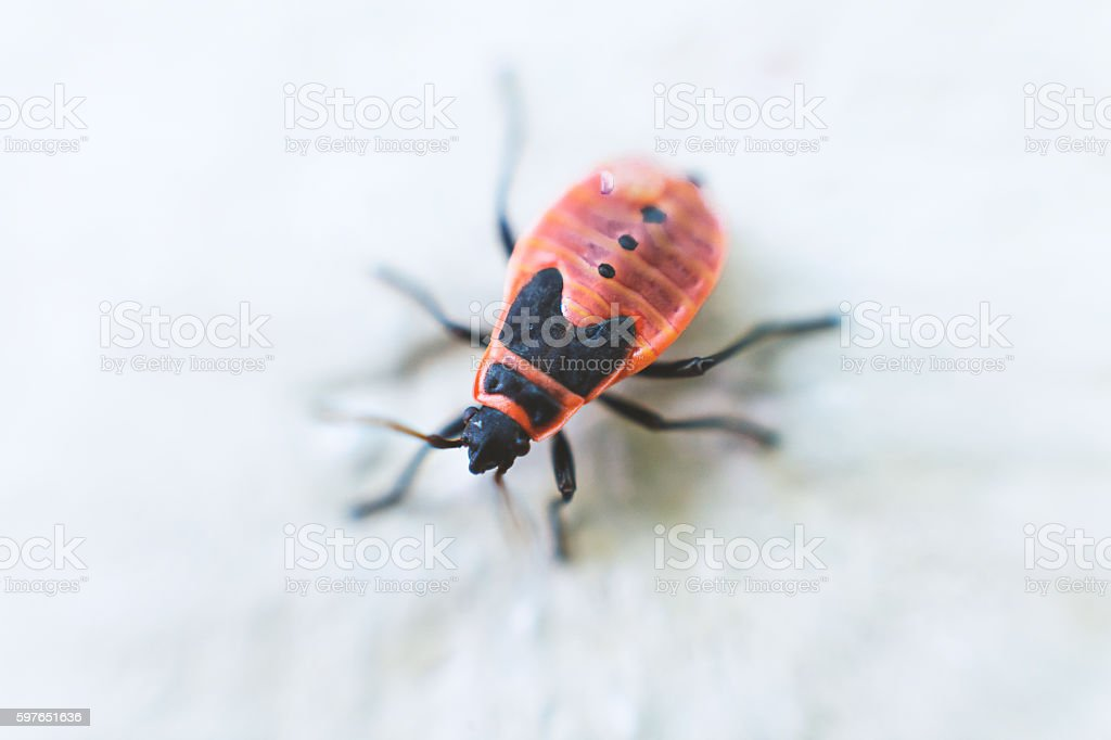 Firebug on a Wall Close up stock photo