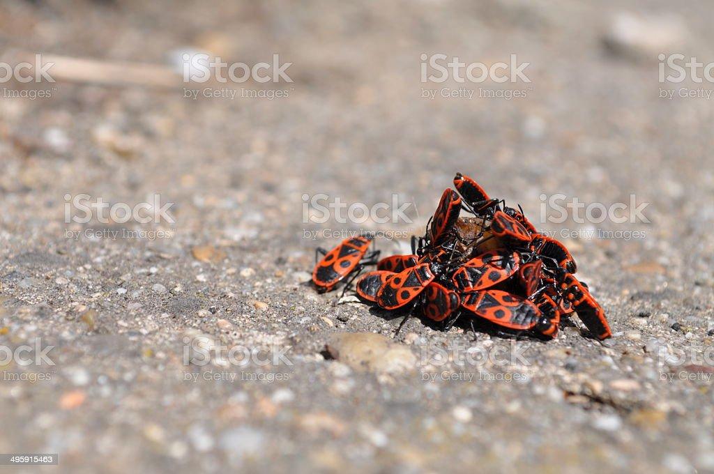Firebugs eating a rotten fruit royalty-free stock photo