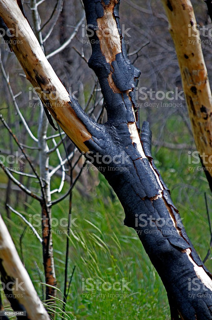 Fire-damaged Trees stock photo