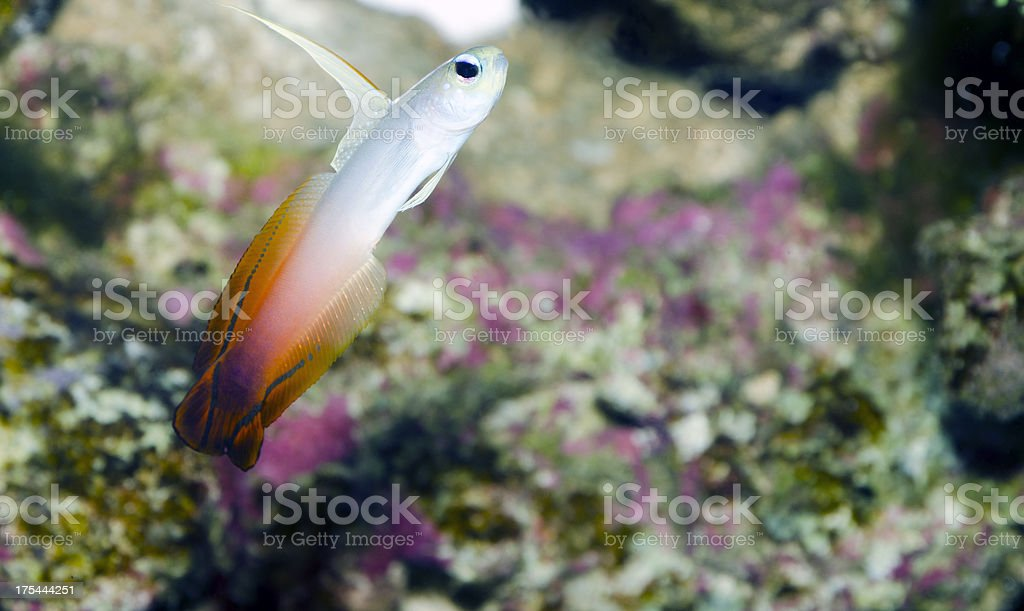 firefish goby in a reef stock photo