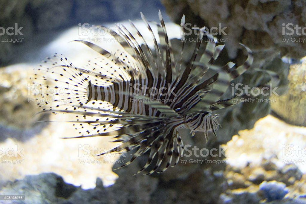 Firefish stock photo
