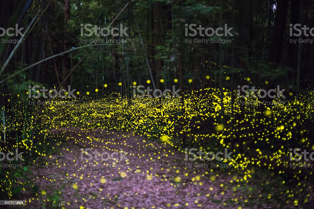 Fireflies fly in the forest at night stock photo