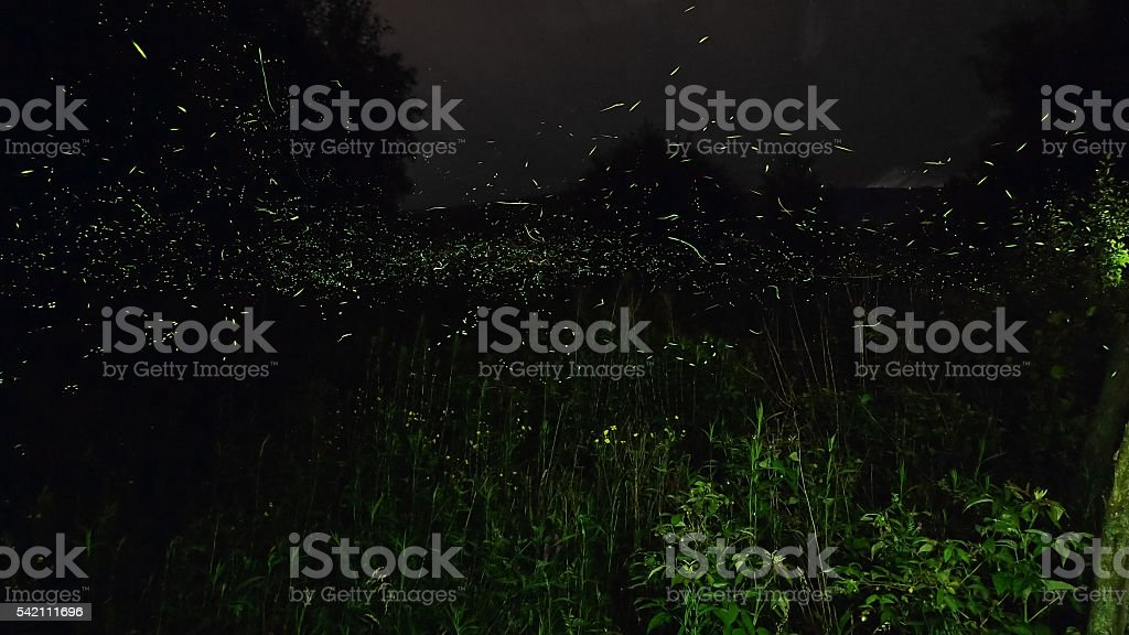 Fireflies in a field - panorama with leaves stock photo