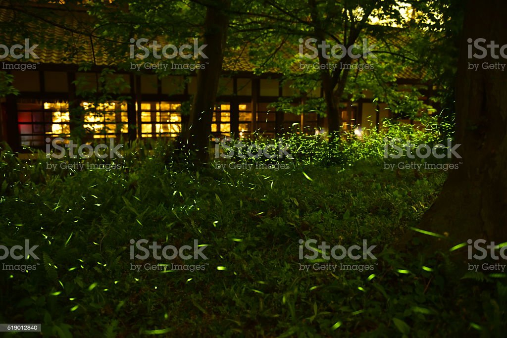 Fireflies were flying between tussock in the night stock photo